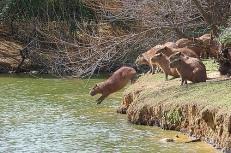 The Capybara - Hydrochoerus hydrochaeris (R.O.U.S.)