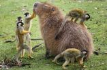 All hail King Capybara