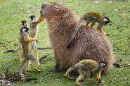 All hail King Capybara