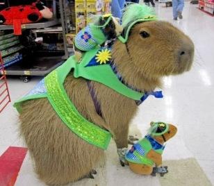 http://4.bp.blogspot.com/-mn0-VShv4ik/Uob35QzS6kI/AAAAAAAAFM0/UuLbtTX-tlk/s1600/Funny-Capybara.jpg