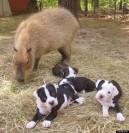 http://i.huffpost.com/gen/1241701/thumbs/o-CHEESECAKE-CAPYBARA-PUPPIES-570.jpg?16