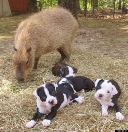 http://i.huffpost.com/gen/1241701/thumbs/o-CHEESECAKE-CAPYBARA-PUPPIES-570.jpg?16