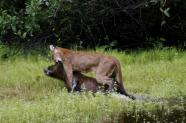 By Stefan Grol - http://www.discoverwildlife.com/gallery/puma-v-capybara-photo-gallery-stefan-grol