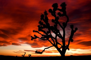 Joshua tree in sunset by Sam Scholes, 2010