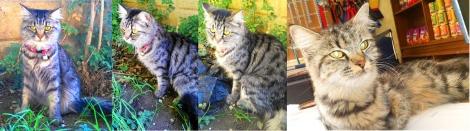 Nancy from the Egyptian Mau Rescue Organization